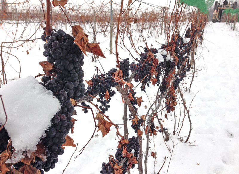 lemon creek - ice wine grapes