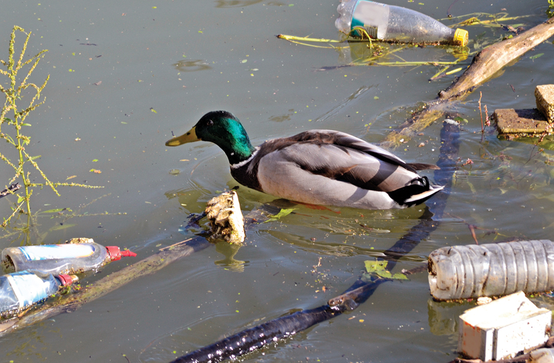 Duck swimming in pollution