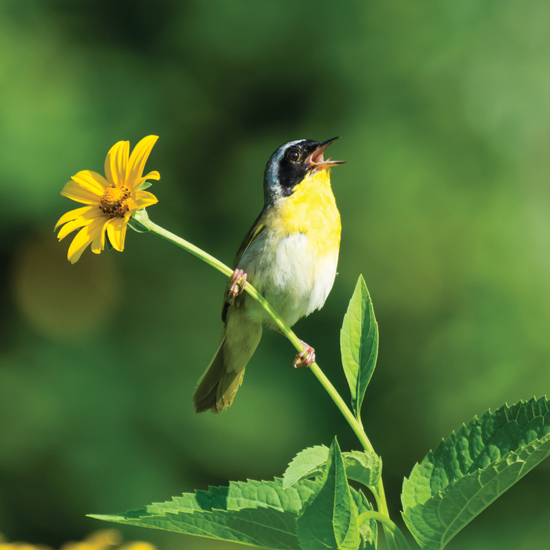 Commoon Yellowthroat