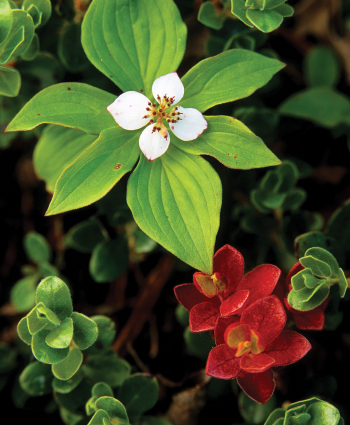 Bunchberry blossom with bearberry