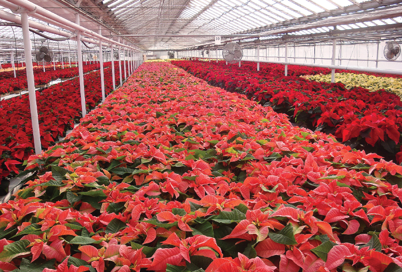 Pink and Red Poinsettias