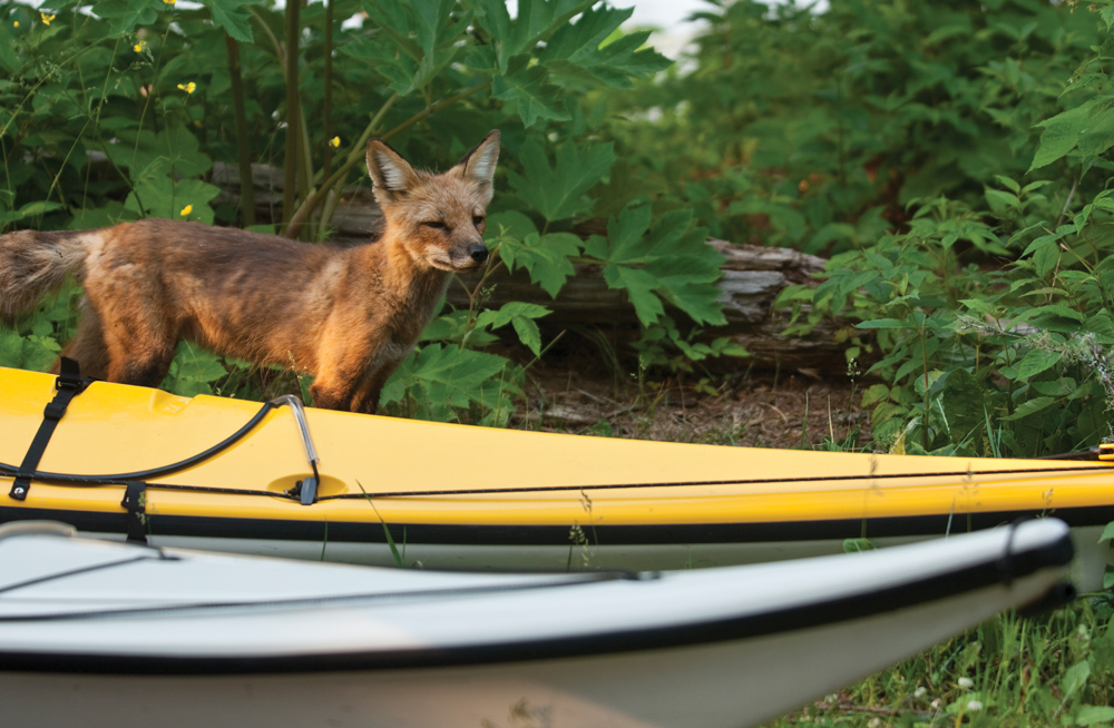 Red fox at Isle Royale