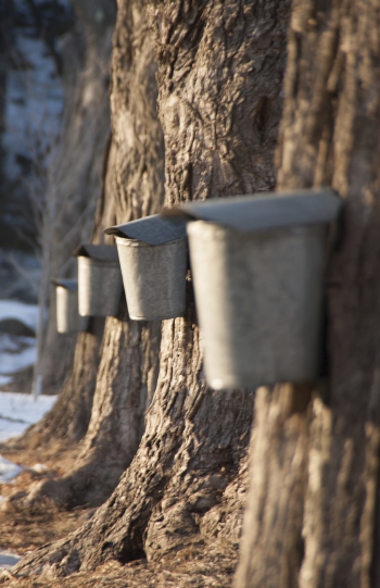 Syrup tapping buckets