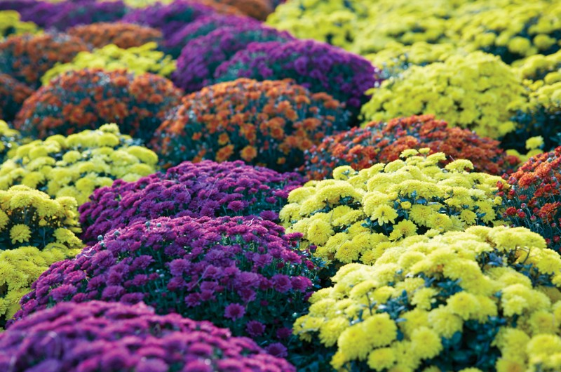 Chrysanthemums and More