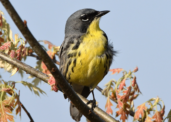 Yellow Warbler Courtesy Jim Hudgins