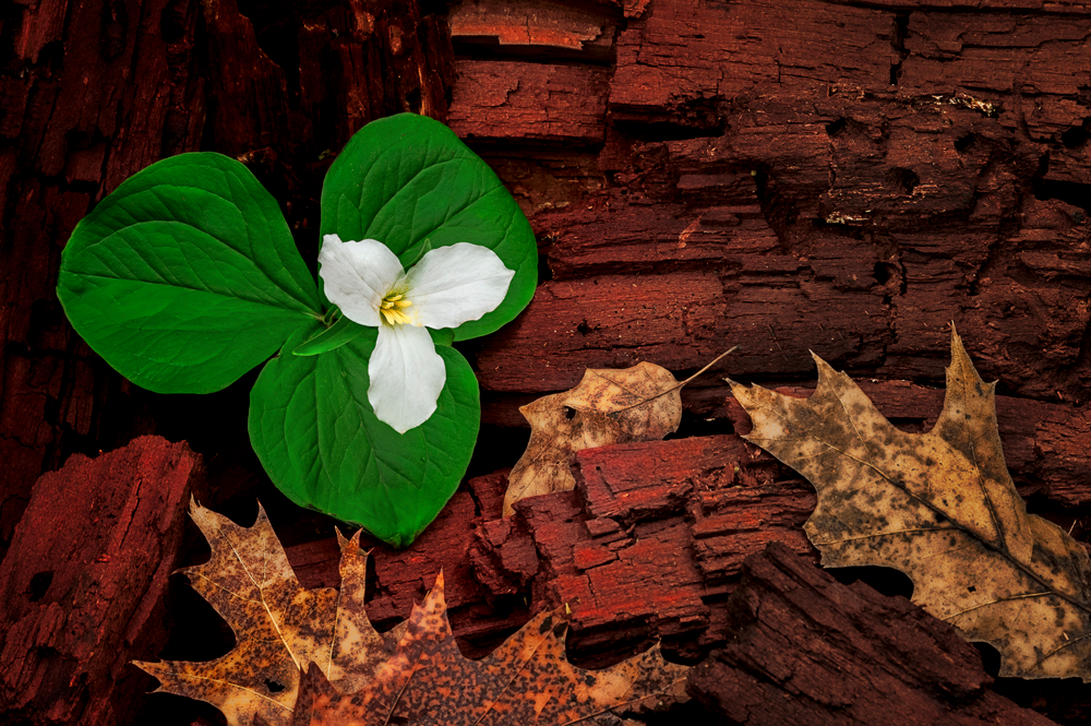 A white trillium prominently grows amid woody debris.
