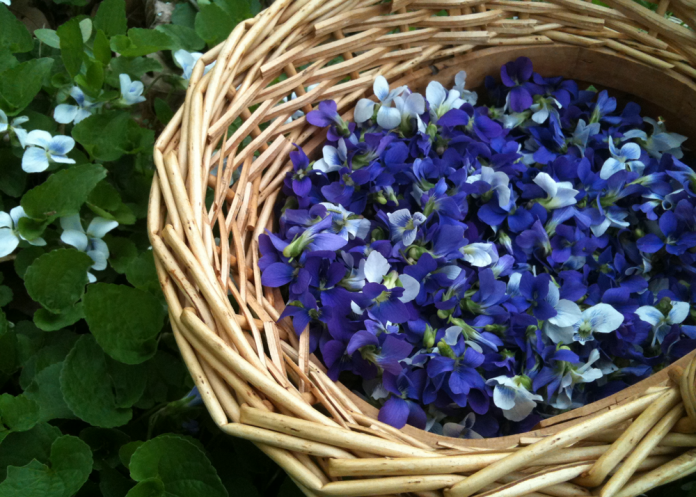 Harvested violet leaves can be used in a salad or whole flowers can be candied for use in desserts.